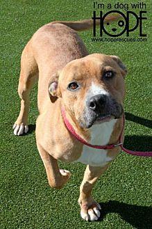 Labrador Retriever/Pit Bull Terrier Mix Dog for adoption in Godfrey, Illinois - Arlen