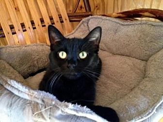 Domestic Shorthair Cat for adoption in Sterling Heights, Michigan - China