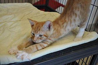 Domestic Shorthair Kitten for adoption in Pompano Beach, Florida - Dandelion