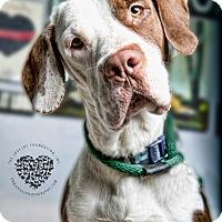 Adopt A Pet :: Charger - Inglewood, CA