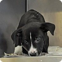 Adopt A Pet :: Storm - Suwanee, GA