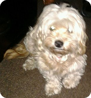 Maltese/Poodle (Miniature) Mix Dog for adoption in Thousand Oaks, California - Suzi
