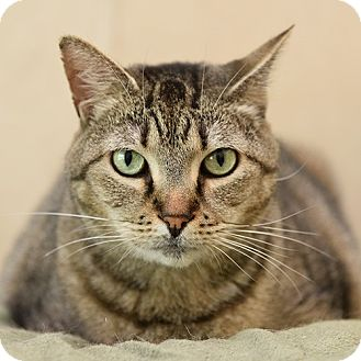 Domestic Shorthair Cat for adoption in Wilmington, Delaware - Jackie