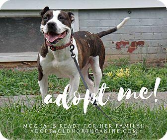 American Staffordshire Terrier Mix Dog for adoption in Elon, North Carolina - Mocha-adoption pending