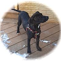 Adopt A Pet :: Layla - Ijamsville, MD