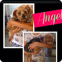 Adopt A Pet :: Angel - Mission, KS