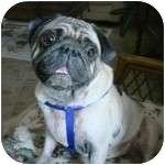 Pug Dog for adoption in Windermere, Florida - Romeo
