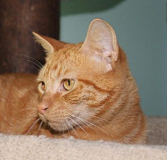 Domestic Shorthair Cat for adoption in Cincinnati, Ohio - Hot Dog