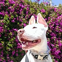 Pit Bull Terrier Dog for adoption in LOS ANGELES, California - MYNKA (Courtesy Post)
