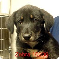 Adopt A Pet :: Zebra - baltimore, MD