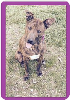 Mountain Cur Mix Dog for adoption in Manchester, Connecticut - Zelda-pending adoption