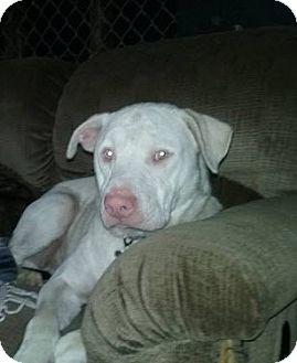 Labrador Retriever/Pit Bull Terrier Mix Dog for adoption in Aurora, Ohio - Jackson