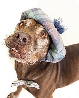 Australian Kelpie/Labradoodle Mix Dog for adoption in Phoenix, Arizona - Darrell