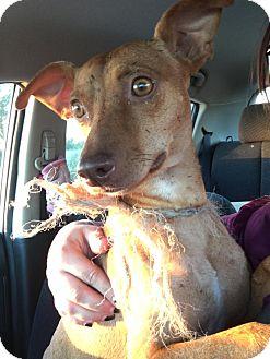 Chihuahua Mix Dog for adoption in Jarrell, Texas - Radar