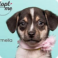 Adopt A Pet :: Carmella - Cincinnati, OH