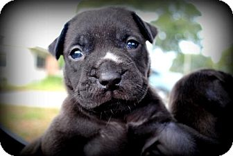 American Bulldog Mix Puppy for adoption in Orlando, Florida - Kiss