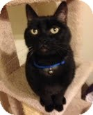 Domestic Shorthair Cat for adoption in Modesto, California - Cubby