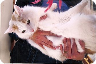 Turkish Van Cat for adoption in Davis, California - Paddy