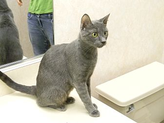 Domestic Shorthair Cat for adoption in Naples, Florida - Felicia