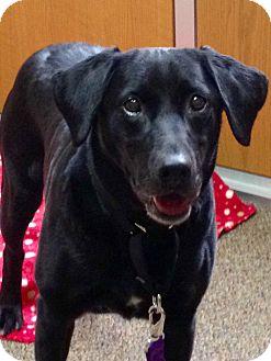 Labrador Retriever Mix Dog for adoption in Plainfield, Connecticut - Hallie