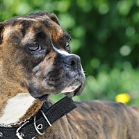 Boxer Dog for adoption in Fremont, California - COOKIE