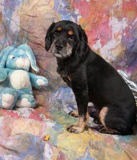 Cocker Spaniel Dog for adoption in Elizabethtown, Pennsylvania - Musie