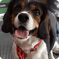 Adopt A Pet :: Kelly - Pierrefonds, QC