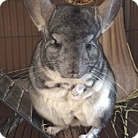 Chinchilla for adoption in Granby, Connecticut - Benjamin