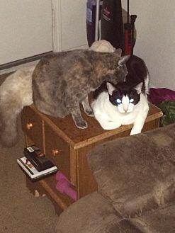 Calico Cat for adoption in League City, Texas - Elmo