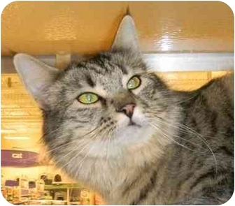Maine Coon Cat for adoption in Howell, New Jersey - Gypsy