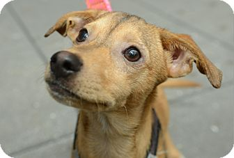 Chihuahua Mix Dog for adoption in New York, New York - Gus