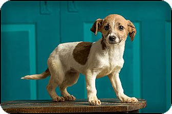 Chihuahua/Terrier (Unknown Type, Small) Mix Puppy for adoption in Owensboro, Kentucky - Miley