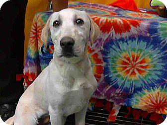 Labrador Retriever Puppy for adoption in Burbank, California - Remy