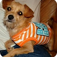 Terrier (Unknown Type, Small)/Chihuahua Mix Dog for adoption in Kingwood, Texas - JoJo