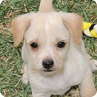 Adopt A Pet :: Tater Tot - La Habra Heights, CA
