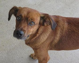 Labrador Retriever/Hound (Unknown Type) Mix Dog for adoption in High Point, North Carolina - Meadow