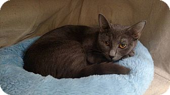 Domestic Shorthair Cat for adoption in Austintown, Ohio - Teegan