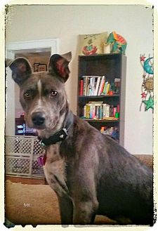Pit Bull Terrier Mix Dog for adoption in Union Grove, Wisconsin - Sassy