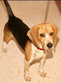 Beagle Dog for adoption in Winder, Georgia - Roger