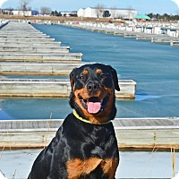 Rottweiler Dog for adoption in Virginia Beach, Virginia - Reise