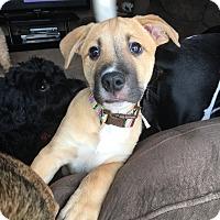 Adopt A Pet :: Puppy Yellow -Adoption Pending - Beachwood, OH