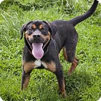 Adopt A Pet :: Bear - Bedford, IN