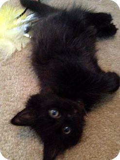 Domestic Longhair Kitten for adoption in Troy, Michigan - Little Valverde