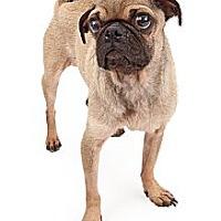 Adopt A Pet :: Benjamin - Chandler, AZ