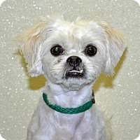 Adopt A Pet :: Tidbit - Port Washington, NY