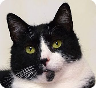 Domestic Shorthair Cat for adoption in Norwalk, Connecticut - Tramper