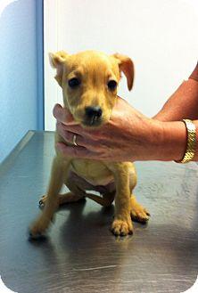 Miniature Pinscher Mix Puppy for adoption in Baltimore, Maryland - Birch