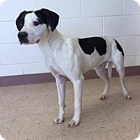Pointer Mix Dog for adoption in McDonough, Georgia - Gabriel