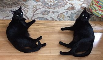 Domestic Shorthair Cat for adoption in Manasquan, New Jersey - 2 Black young male cats