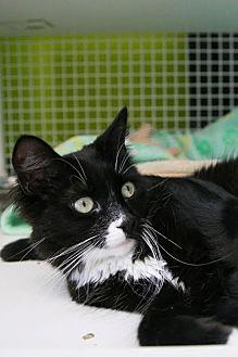 Domestic Mediumhair Cat for adoption in Los Angeles, California - Hope